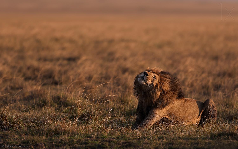 危险的猫科动物 记录非洲狮的点点滴滴