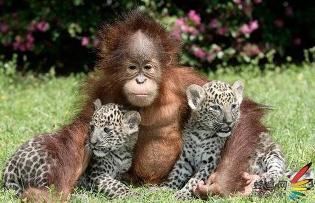 据英国《每日电讯报》报道,时值年终岁尾,该报推出了2009年度系列精彩图片集。在可爱动物系列中,向人们展示了二十多种动物可爱、伶俐和人性化的一面。 猩猩与美洲豹在美国南卡罗来纳州美特尔海滩市濒危物种研究所中,两只五周大的美洲豹幼仔正惬意地趴在一只一岁大的猩猩怀中。两只美洲豹幼仔分别叫钱特和斯洛卡,猩猩的名字为莉什。它们之间似乎相处很融洽,看来不同物种之间也有友情。 长臂猿这是一只长臂猿幼仔,出生于2月8日,生活于德国什未林市的一家动物园中。图中,它正被包裹于一条毛巾中,表情滑稽可爱。这只雌性长臂猿幼仔出