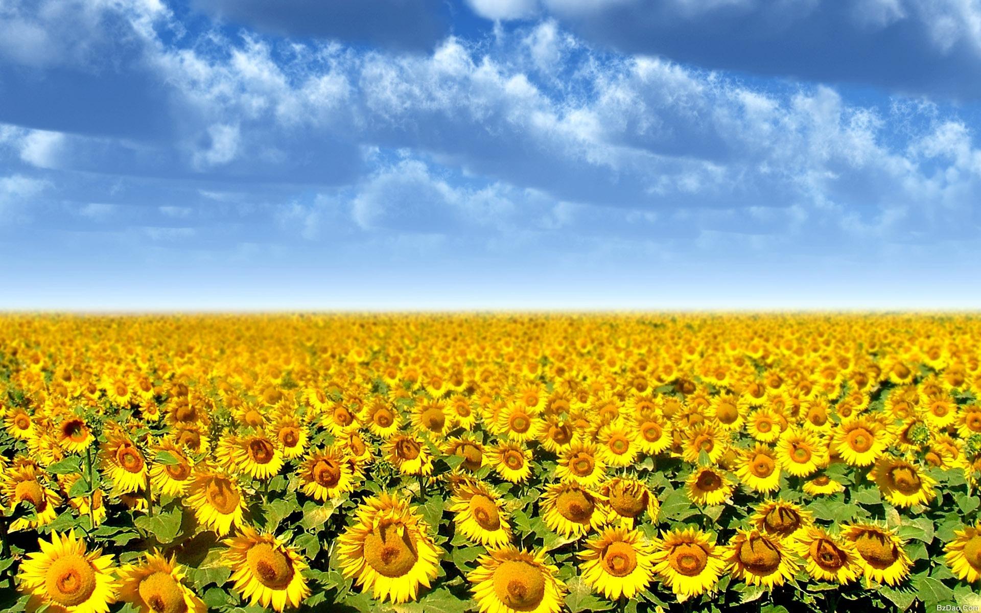 [图赏]高清大屏风景壁纸 向日葵花摄影(3/17)